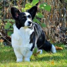 Cardigan Welsh Corgi Dog Breed Info