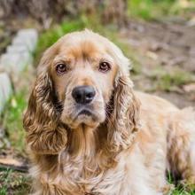 Cocker Spaniel Dog Breed Info