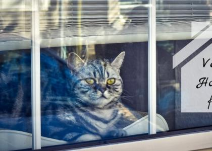 Cat looking out of home window