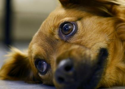 Photo of a sad looking dog, laying down