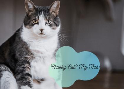 overweight cat health tips