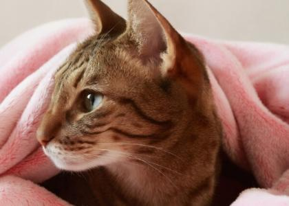 Photo of a cat resting while wrapped in blankets